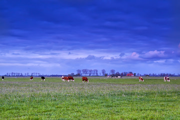 cattle grazing on pasture at sunset