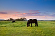 black horses on pasture at sunrise