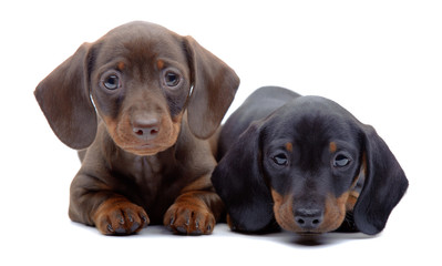 Portrait of two puppies of Dachshund