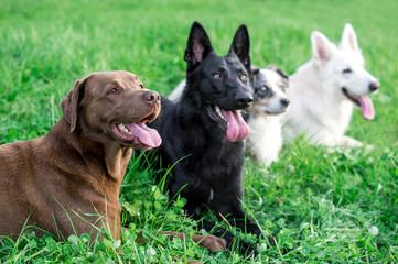 Vier erschöpfte Hunde auf der Wiese