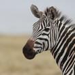 Portrait of a wild zebra