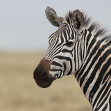 Portrait of a wild zebra