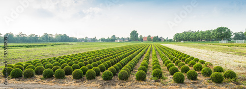 Panoramic photograph of a boxwood nursery in the Netherlands