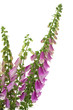 Digitalis purpurea