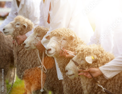 country sheep show