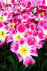 Beautiful spring flowers. Tulips