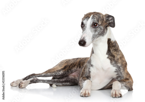 Whippet lying in front of white background