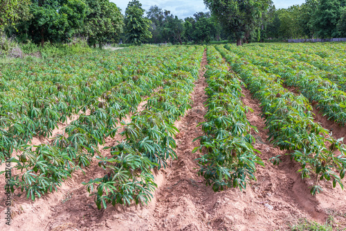 Cassava or manioc plant field in Thailand