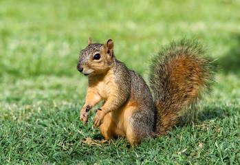 Cheerful looking young Eastern Fox squirrel (Sciurus niger)