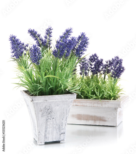 Beautiful lavender in wooden pots isolated on white