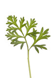 Wormwood  absinthium herb therapeutic plant poster