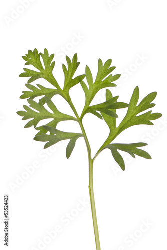 Wormwood  absinthium herb therapeutic plant