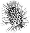 Cone of Plant Abies venusta