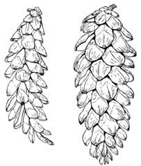 Cones of Pinus strobus (Eastern white pine)