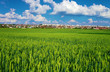 Green wheat field with city on horizon