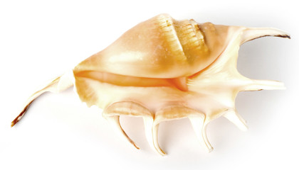 Beautiful exotic shell on white background