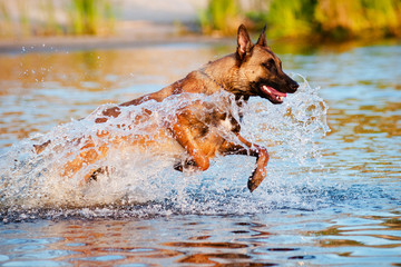 malinois dog jumps in water
