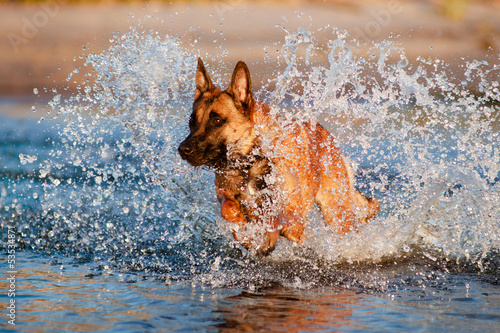 belgian shepherd dog jumps in water