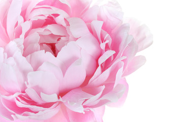 part of pink peony on a white background