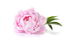 "Постер, картина, фотообои ""Beautiful pink peony on a white background"""