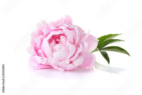Papiers peints Fleur Beautiful pink peony on a white background