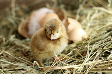 Brown Orpington chick on hay background