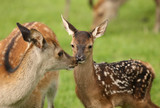 Close up of a young Fallow Deer with mother