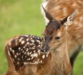Close up of a young Fallow Deer