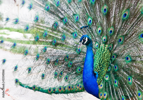 Close up of peacock showing its beautiful feathers