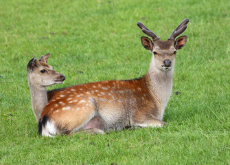 Male and female Fallow Deer back to back