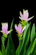 Curcuma flowers on black background