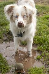 Mini-Aussie in the Mud