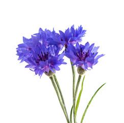Flowers cornflowers