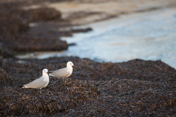 Seagull in Formentera