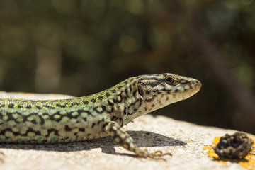Lizard (Podarcis Lilfordi Formenterae)