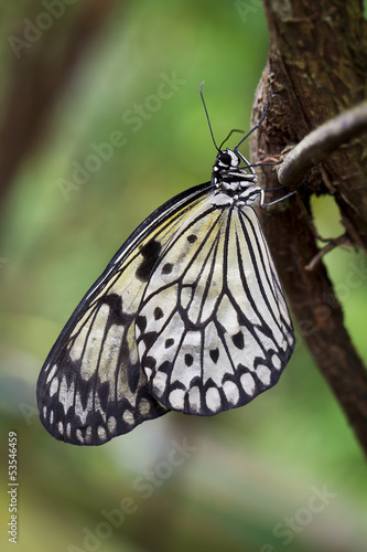 Paper Kite or Rice Butterfly (Idea leuconoe)