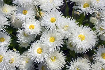 Shasta daisy flowers Leucanthemum superbum.