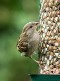 Female house sparrow sitting on bird feeder looking right