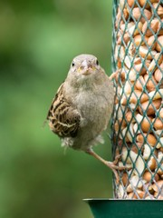 Female house sparrow sitting on bird feeder looking ahead
