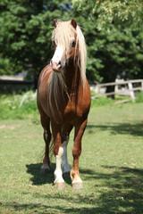 Beautiful welsh mountain pony stallion on pasturage