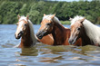 Batch of blond chestnut horses in water