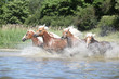 Batch of young chestnut horses in water