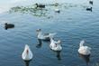 flock waterbirds on lake surface