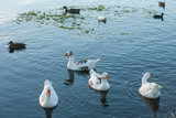 flock waterbirds on lake surface poster