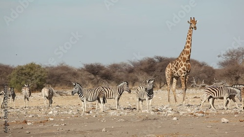 Zebras and giraffe at a waterhole, Etosha National Park