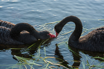 courting black swans