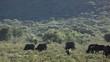 Herd of African buffalos (Syncerus caffer) grazing
