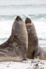 Southern elephant seals are fighting