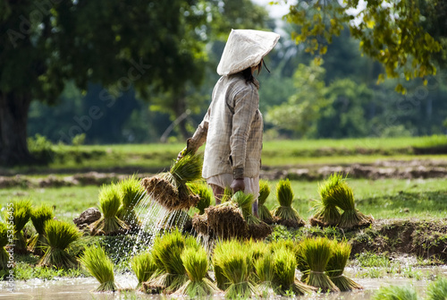 Rice plantation in Laos