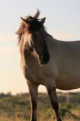Wild horse in grass dune landscape. Konik horse.